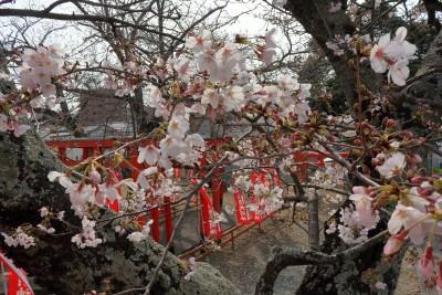 シンフォニータウン泉分譲地周りでも桜の花が咲いています♪