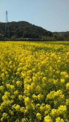黄色いじゅうたん✿