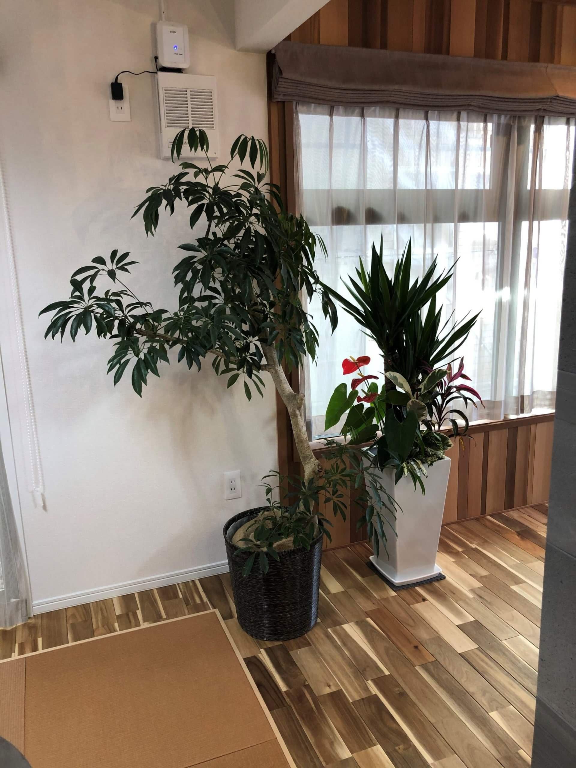 突然ですが、観葉植物のご紹介。