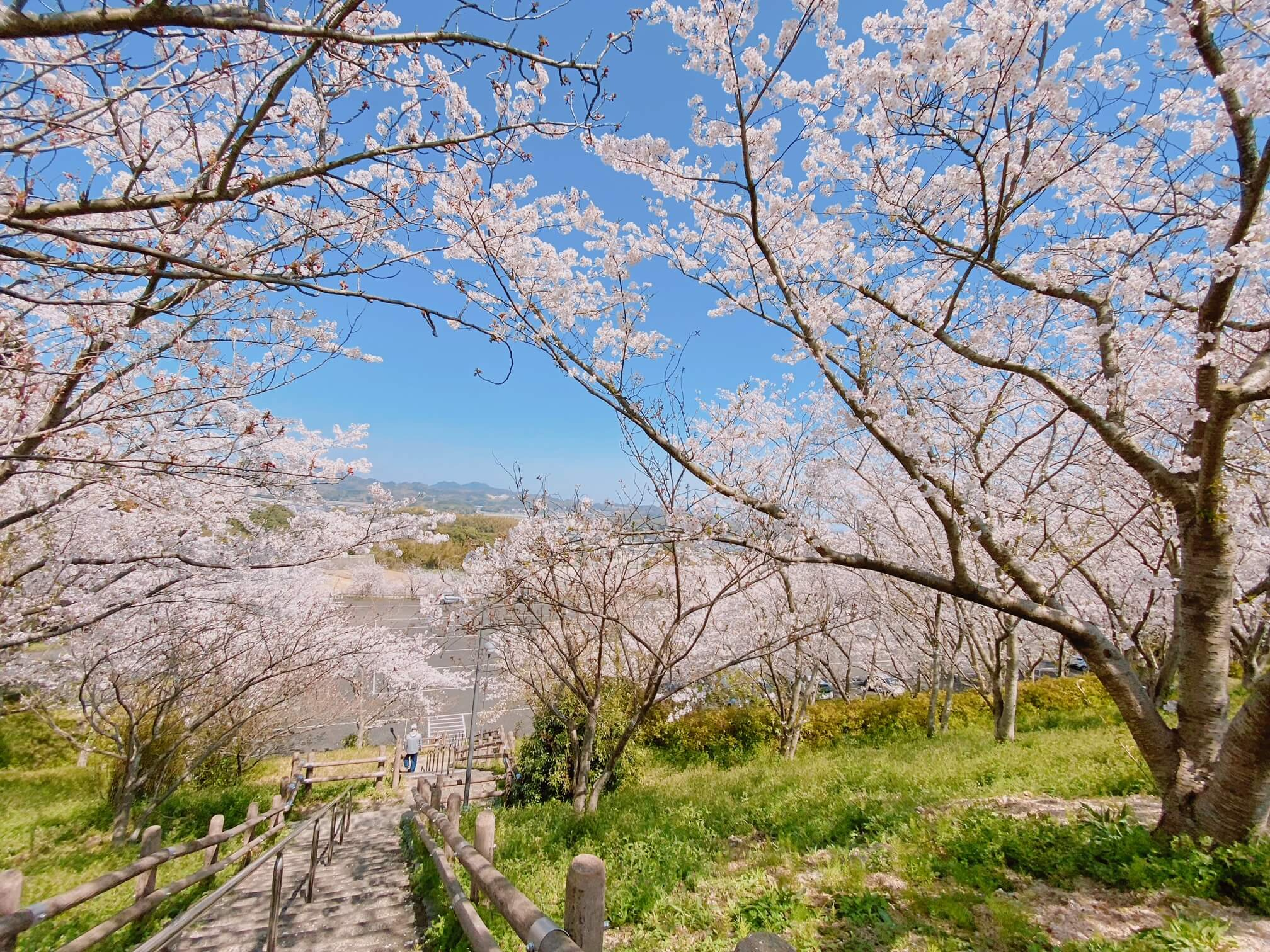 糸島市のさくら